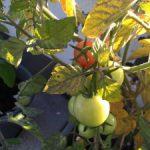 Pflege von Tomaten und Paprika