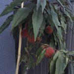 Mein neuer Aprikosenbaum