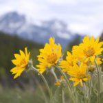 Arnika – das Heilmittel von Berg und Wiese