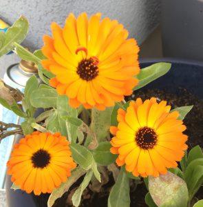 Ringelblume Blüten Heilpflanze Kübelpflanze